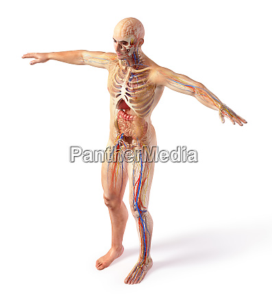 man total anatomy systems diagram with