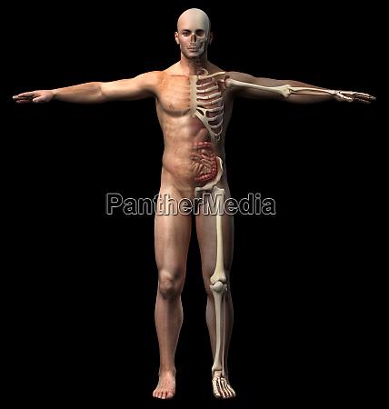 mann skelett und innere organe diagramm