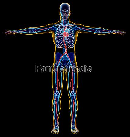 man skeletal and cardiovascular system x