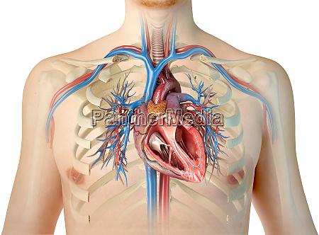menschlicher herzquerschnitt mit gefaessen lunge bronchialbaum