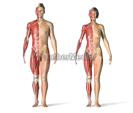 man and woman muscle and skeletal
