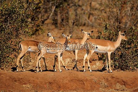 impala antelopes kruger national park