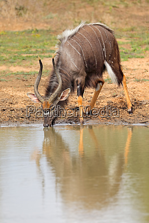 nyala antelope drinking water