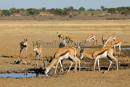 springbok antelopes at a waterhole