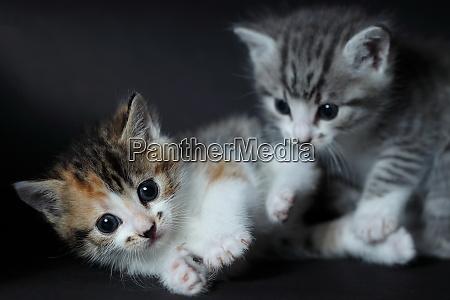 zwei junge katzen eine graue und