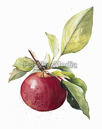 watercolour painting of ripe apple on