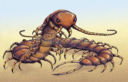 illustration der chinesischen rot koepfigen centipede