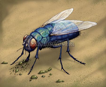 illustration von bluebottle fliegenessen
