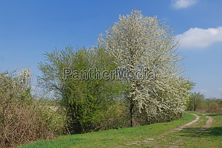 blooming cherry tree in the wagenbachnielage