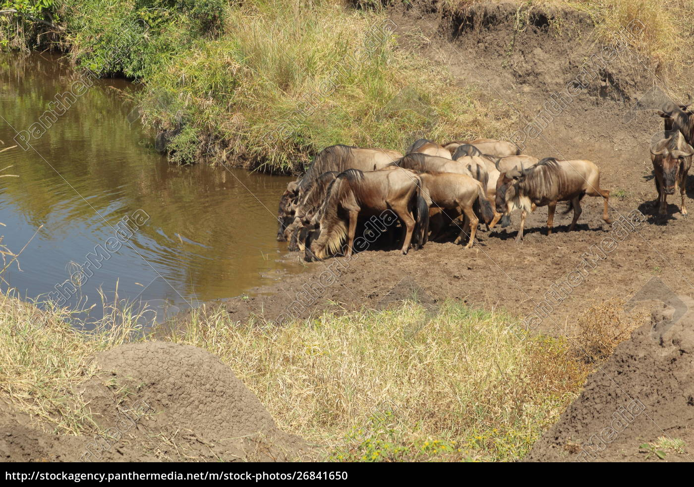 blue, wildebeests, at, a, waterhole, in - 26841650