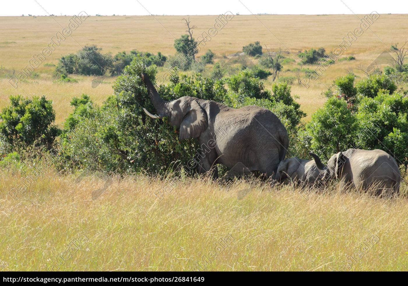 elefantenfamilie, isst, aus, einem, busch - 26841649