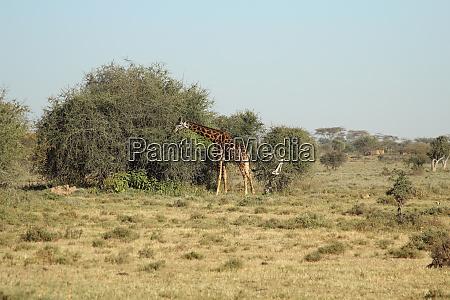 giraffe, vor, einer, buschpflanze - 26841654