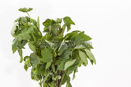 bunch of roselle or gongura leaves