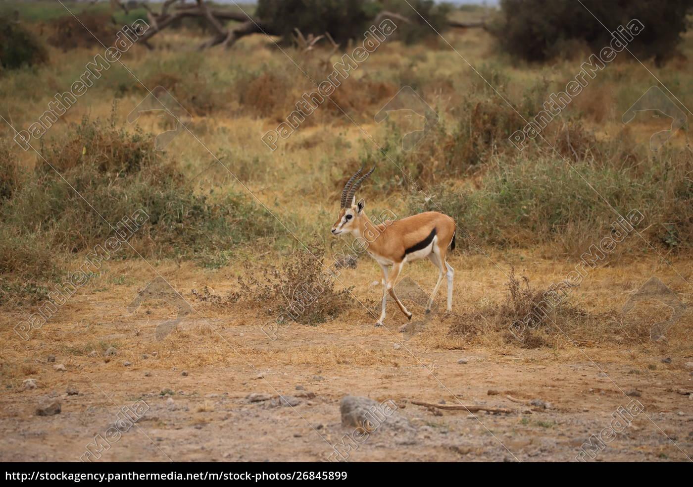 thomson-gazelle, im, amboseli-nationalpark - 26845899