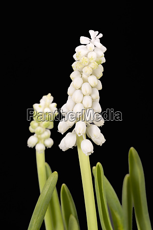 white muscari flowers isolated on black