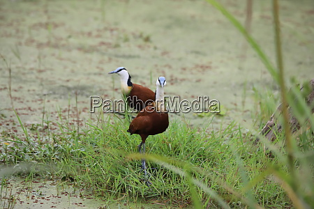 two african jacanas in amboseli national