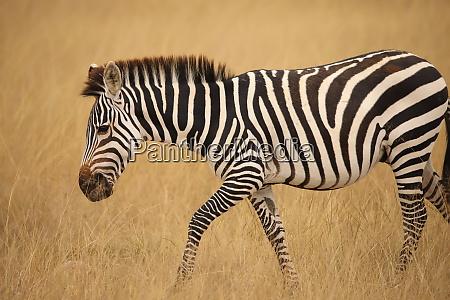 nahaufnahme, eines, zebras, in, kenia - 26851929