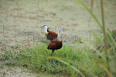 zwei, afrikanische, jacanas, im, amboseli-nationalpark, in - 26851935