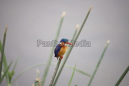 malachite, kingfisher, in, amboseli, national, park - 26854123