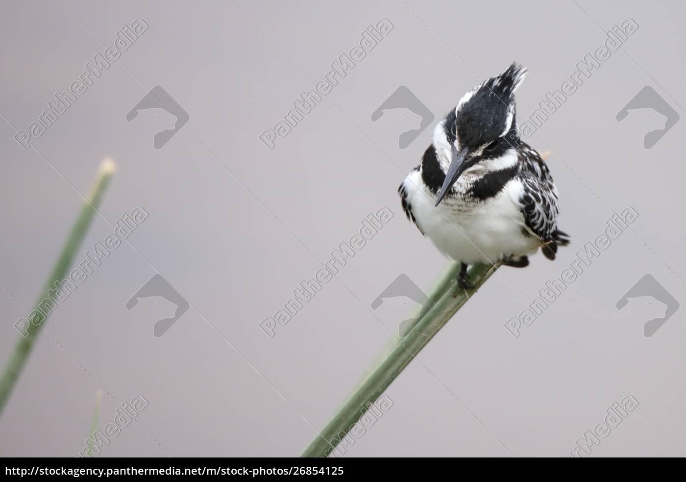 pied, eisvogel, sitzt, auf, einem, grashalm - 26854125