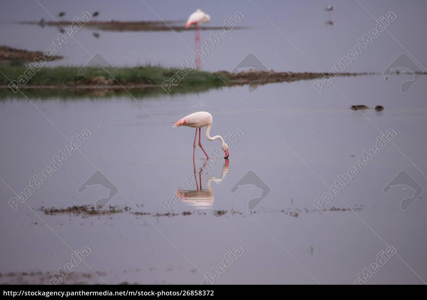 flamingo, steht, in, einem, see - 26858372