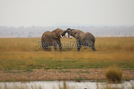 two elephants measure their strength