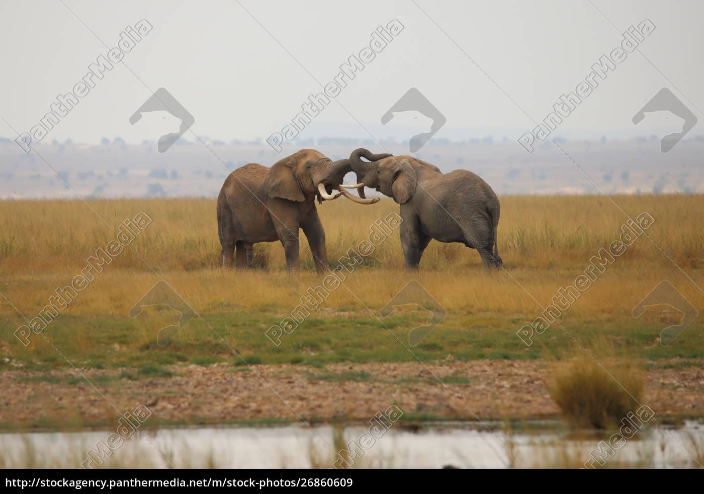 two, elephants, measure, their, strength - 26860609