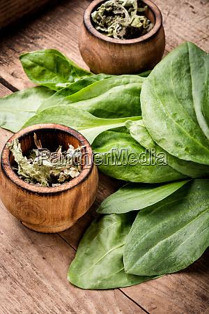 plantain wertvolle heilpflanzen
