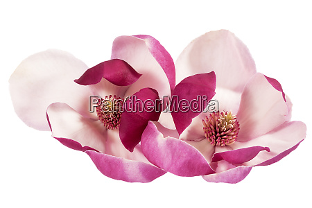 two flowers of pink magnolia isolated