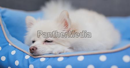 pommersche hund schlafen