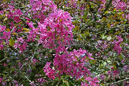 blooming park tree blood apple malus
