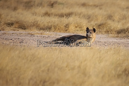 a, spotted, hyena, is, lying, on - 26868430