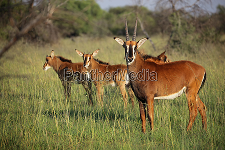 sable antelopes in natural habitat