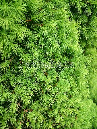 gruene textur des nadelbaums mit tropfen