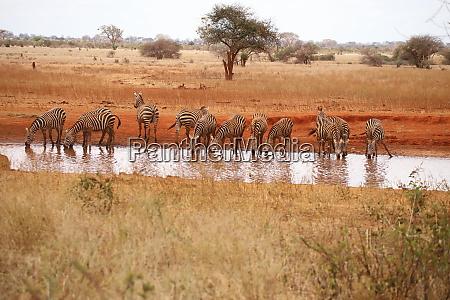 zebras am wasserloch in ngutuni heiligtuemer