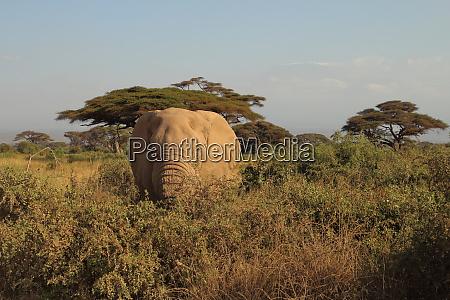 elefant, im, gebüsch - 26897633