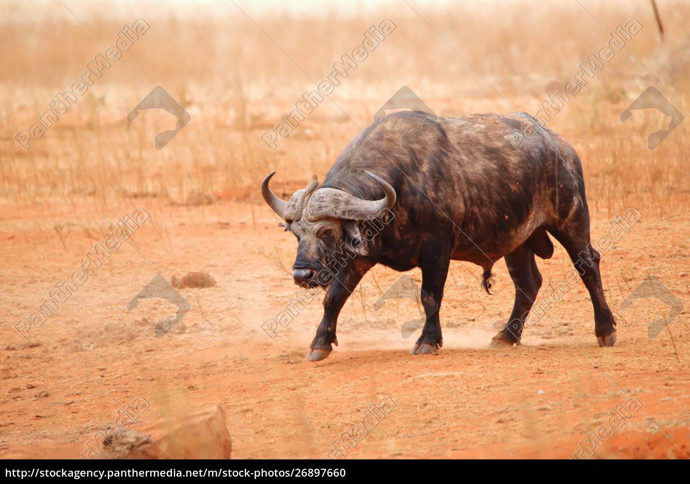 kapbüffel, im, ngutuni, wildreservat - 26897660