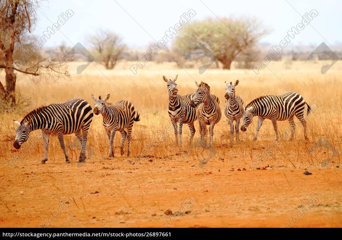 six, zebras, in, the, wide, wilderness - 26897661