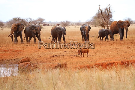 two, warthogs, and, nine, elephants - 26897663