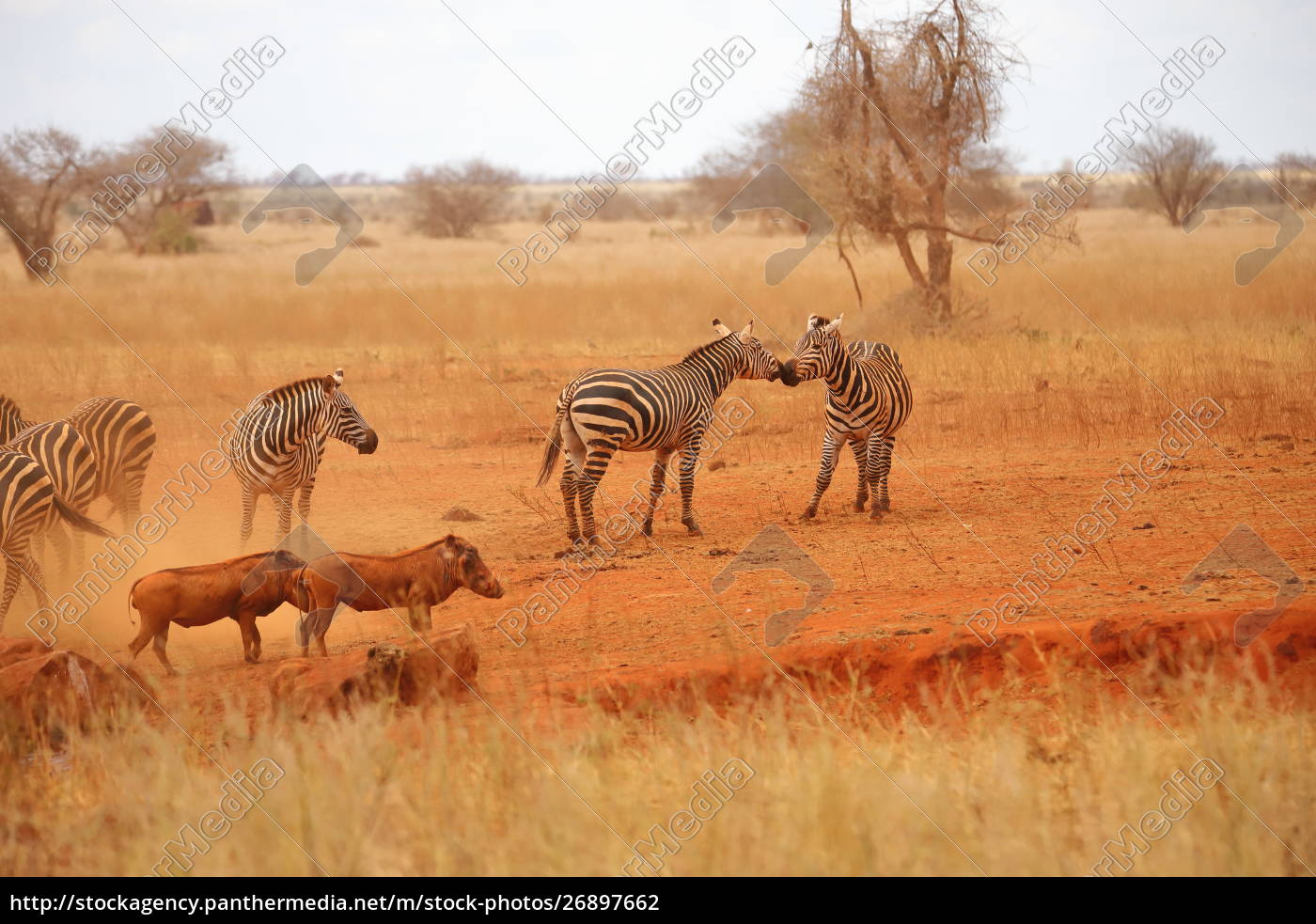 zebras, and, warthogs, in, the, savannah - 26897662