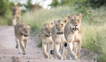 a pride of lions panthera pardus