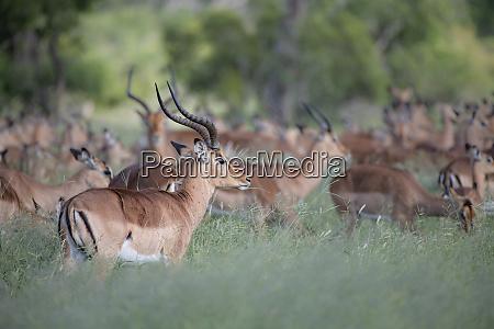 eine herde von impala aepyceros melampus