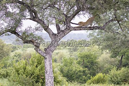 ein leopard panthera pardus steht auf