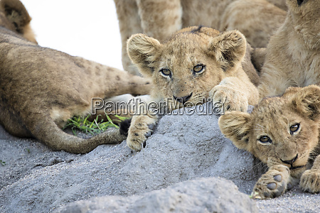 lion cubs panthera leo lie together