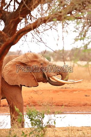 ein, elefant, unter, einem, baum, neben - 26906171