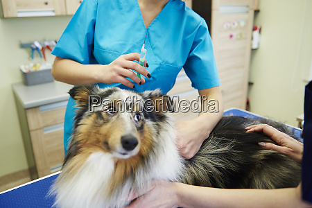 dog receiving an injection in veterinary