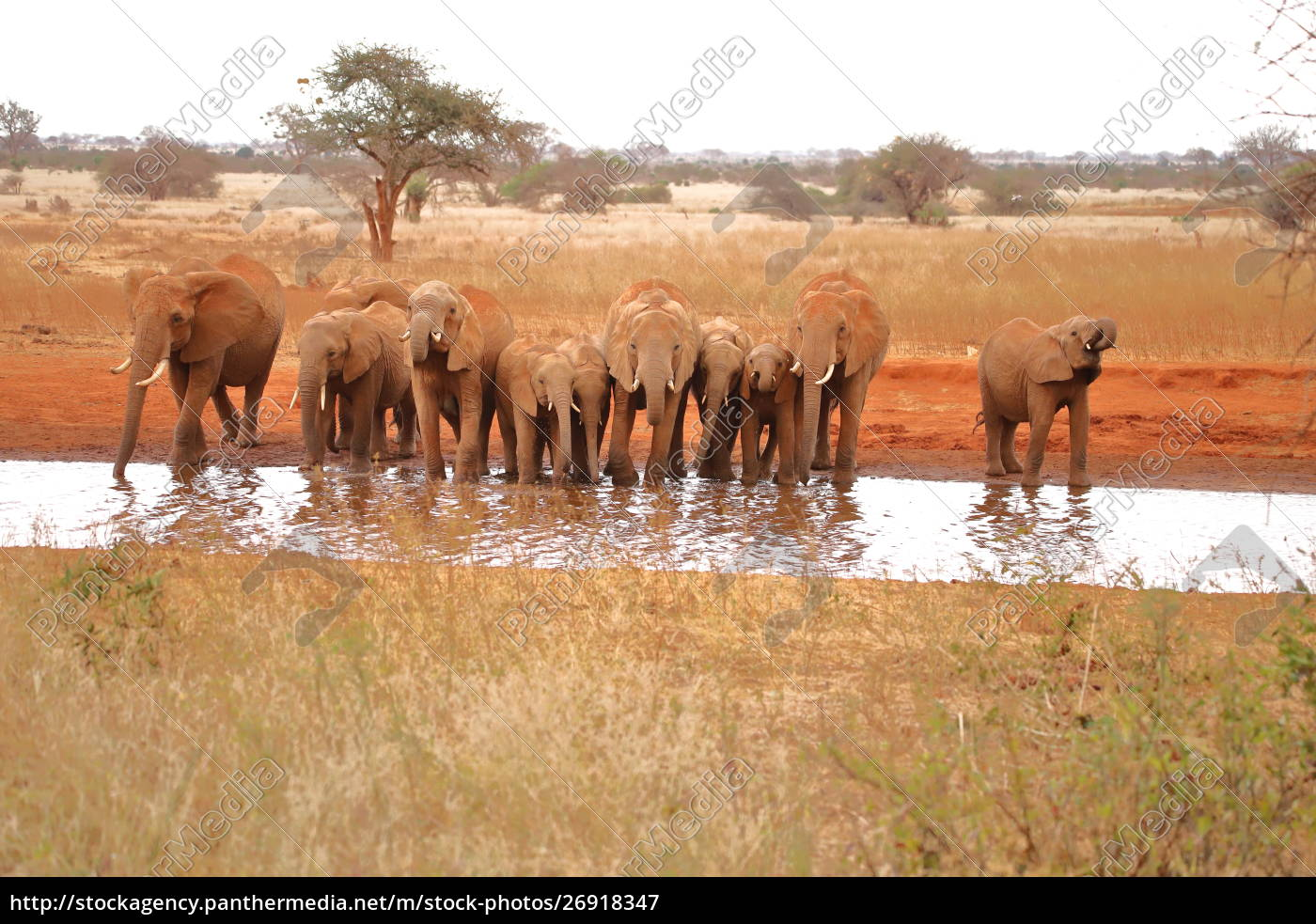 eleven, thirsty, elephants, at, a, waterhole - 26918347