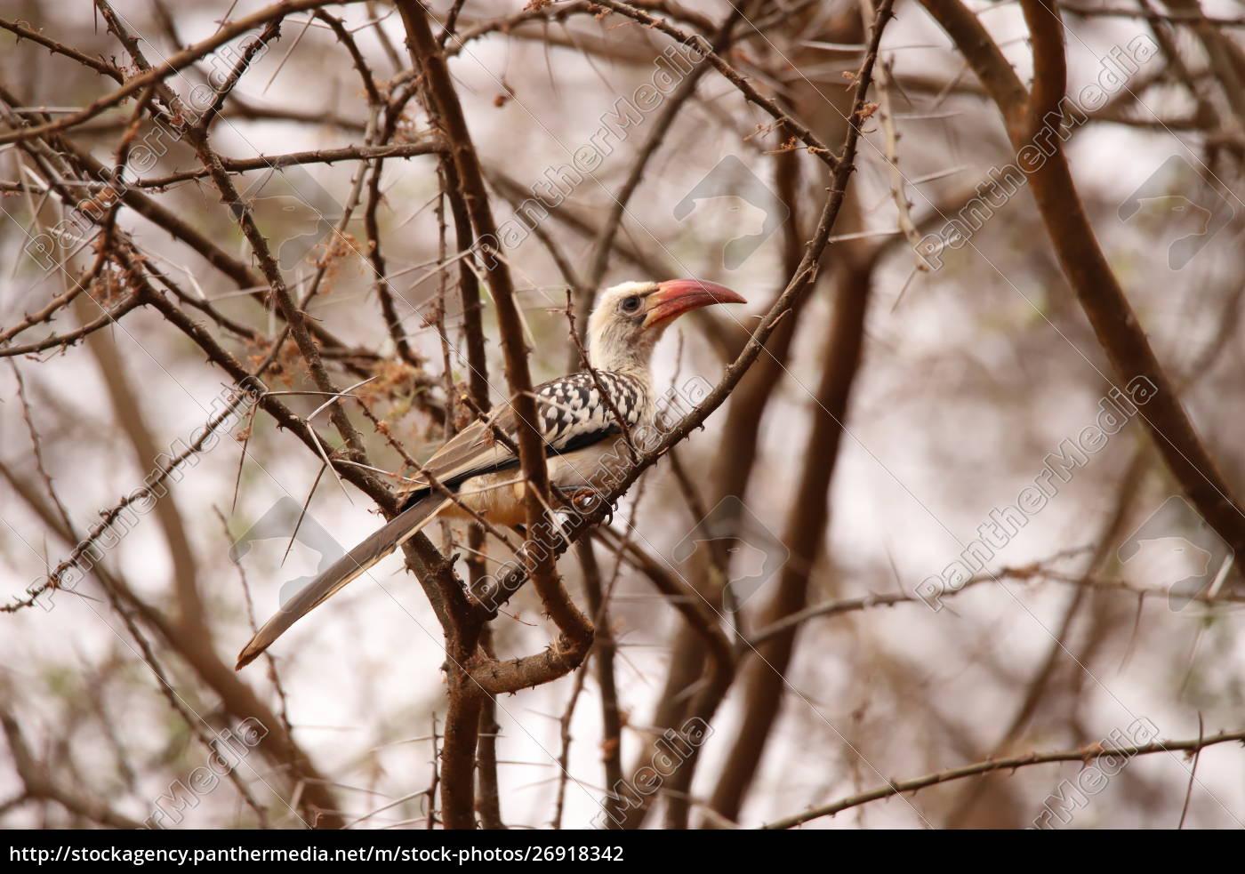 rotschnabel-hornbill, in, einem, gestrüpp, in, kenia - 26918342