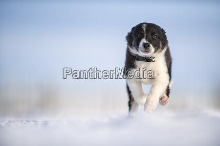 border collie welpe laeuft auf schnee