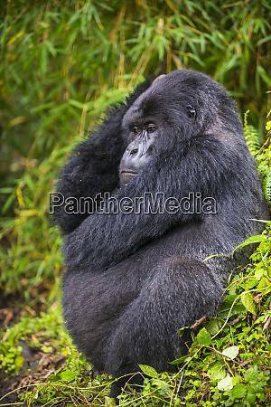 rwanda virunga national park mountain gorilla